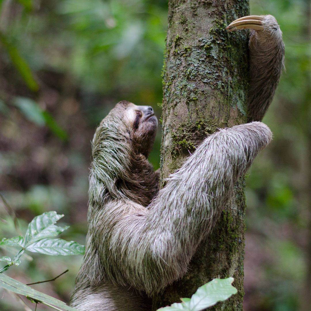 sloths in costa rica